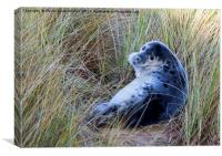 Grey Seal Pup, Canvas Print