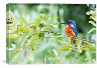 Kingfisher in The Bush, Canvas Print