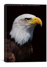 Bald Eagle 1 , Canvas Print