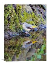 Wagtail Reflection, Canvas Print