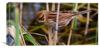 Female Reed Bunting, Canvas Print