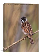 Male Reed Bunting, Canvas Print