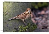 F/M Reed Bunting, Canvas Print