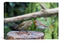 Robin Feeding Juvenile, Canvas Print