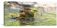 Yellowhammer Taking a Bath, Canvas Print