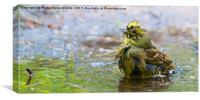 Yellowhammer Having a Splash, Canvas Print