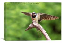Swallow With Nesting Material, Canvas Print