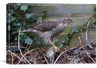 Sparrowhawk With Prey, Canvas Print