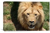 Big lion, Canvas Print