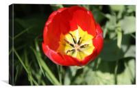 Into the tulip, Canvas Print