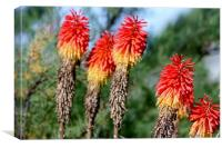 Red hot pokers, Canvas Print