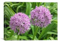 Alliums in full bloom, Canvas Print