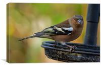Chaffinch on feeder, Canvas Print
