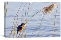 Kingfisher in reeds, Canvas Print