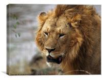 Large Male Lion, Canvas Print