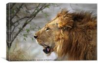 Large Male Lion Profile Portrait, Canvas Print