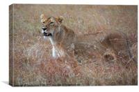 Female Lion in Grass, Canvas Print