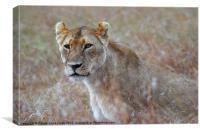 Female Lion Portrait, Canvas Print