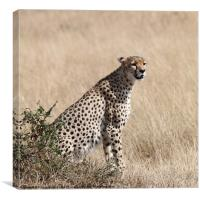 Cheetah Searching for Prey, Canvas Print