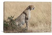 Cheetah Searching for Prey, Canvas Print