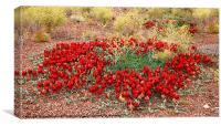 Sturt's Desert Pea, Outback South Australia, Canvas Print