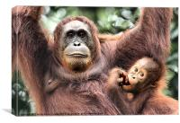 Mother and Baby Orangutan Borneo, Canvas Print