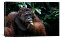 Large male Orangutan Borneo, Canvas Print