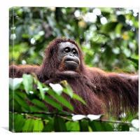 Large Female Orangutan Borneo, Canvas Print