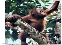 Baby Orangutan Borneo, Canvas Print