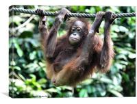 Juvenile Orangutan Borneo, Canvas Print