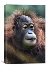 Female Orangutan Borneo, Canvas Print