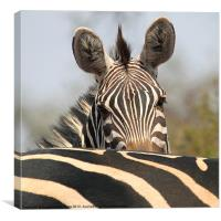 Zebra Portrait, Canvas Print