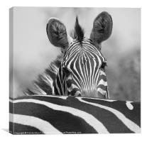 Zebra in Black and White, Canvas Print