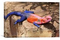 East African Rainbow Agama Lizard Male, Canvas Print