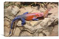 East African Rainbow Agama Mating, Canvas Print