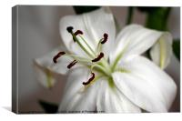 White Lily in Macro, Canvas Print