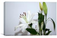 White Lily with Buds, Canvas Print