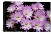 Profusion of Pink Cactus, Canvas Print