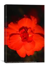 Red Tuberous Begonia, Canvas Print