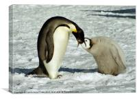 Emperor Penguin Feeding Chick, Canvas Print