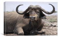 African Buffalo Kenya, Canvas Print