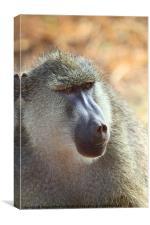 Yellow Baboon Portrait Kenya, Canvas Print