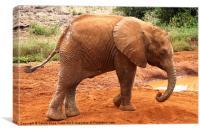 Baby Elephant Kenya, Canvas Print