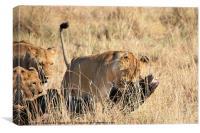Lion Moving A Wildebeest Kill Kenya, Canvas Print