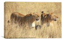 Lions Guarding The Kill, Canvas Print