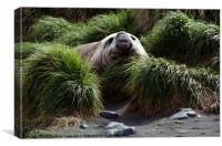 Southern Elephant Seal in the Tussock Grass, Macqu, Canvas Print