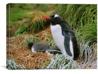 Gentoo Penguins on the Nest, Canvas Print