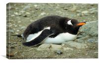 Gentoo Penguin Resting, Canvas Print