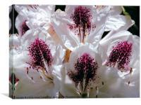 Rhododendron at Birmingham Botanic Gardens, Canvas Print