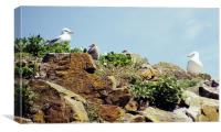Herring Gull Rookery Caldey Island, Canvas Print